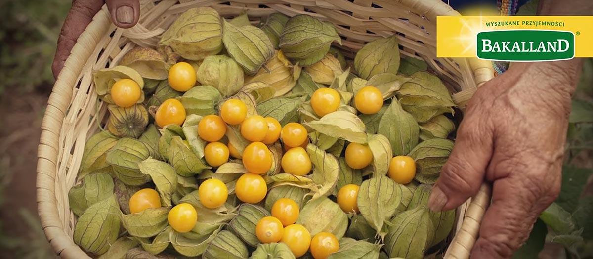 Złote owoce Bakalland – Prosto z plantacji
